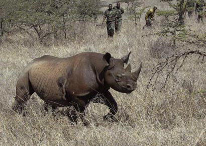Kenya Wildlife Service (KWS) rangers pursue a male black rhino to be translocated from Nairobi National Park in the capital to Meru Park, 160 km away, where the population was decimated by poachers in the past 40 years.