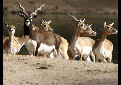 Blackbucks (Antilope cervicapra) in their enclosure at an animal park in Hamburg, Germany, on March 25, 2010.