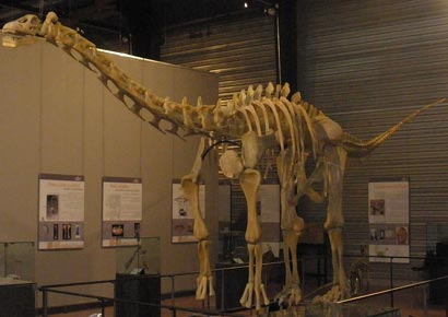 Fossil of a titanosaurian<br/><i>Photo courtesy: Wikimedia Commons</i>