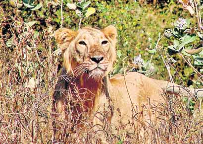 Asiatic lion and gir forest by kamlesh adhiya