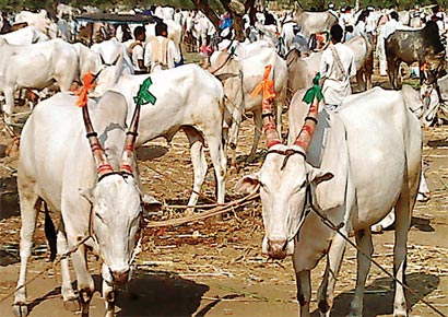 Over 3,000 cattle were brought to Devar Hippargi in Bijapur district, to be sold on Monday.