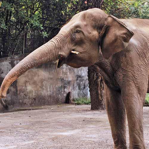 Female Asian elephant Lakshmi at Mumbai Byculla Jijamata Udyan zoo
