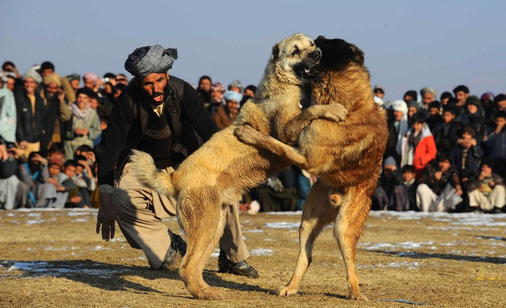 An Afghan man screams at his dog during a dog fight on the outskirts ...