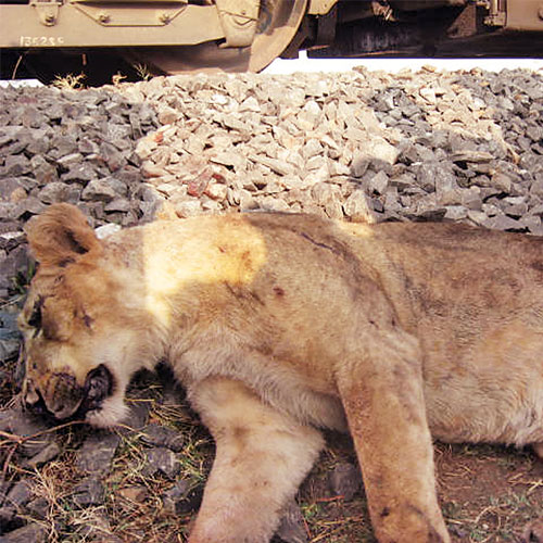 The site where the mishap took place is around 40km from the Gir forest, but the movement of lions is regularly witnessed in the area