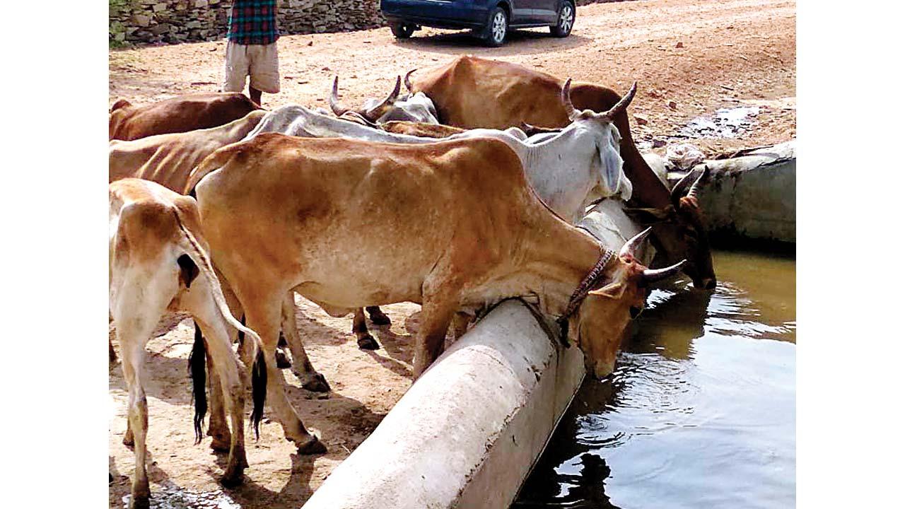 In a bid to help 'rashtra mata', Uttarakhand buys 10,000 cows from military