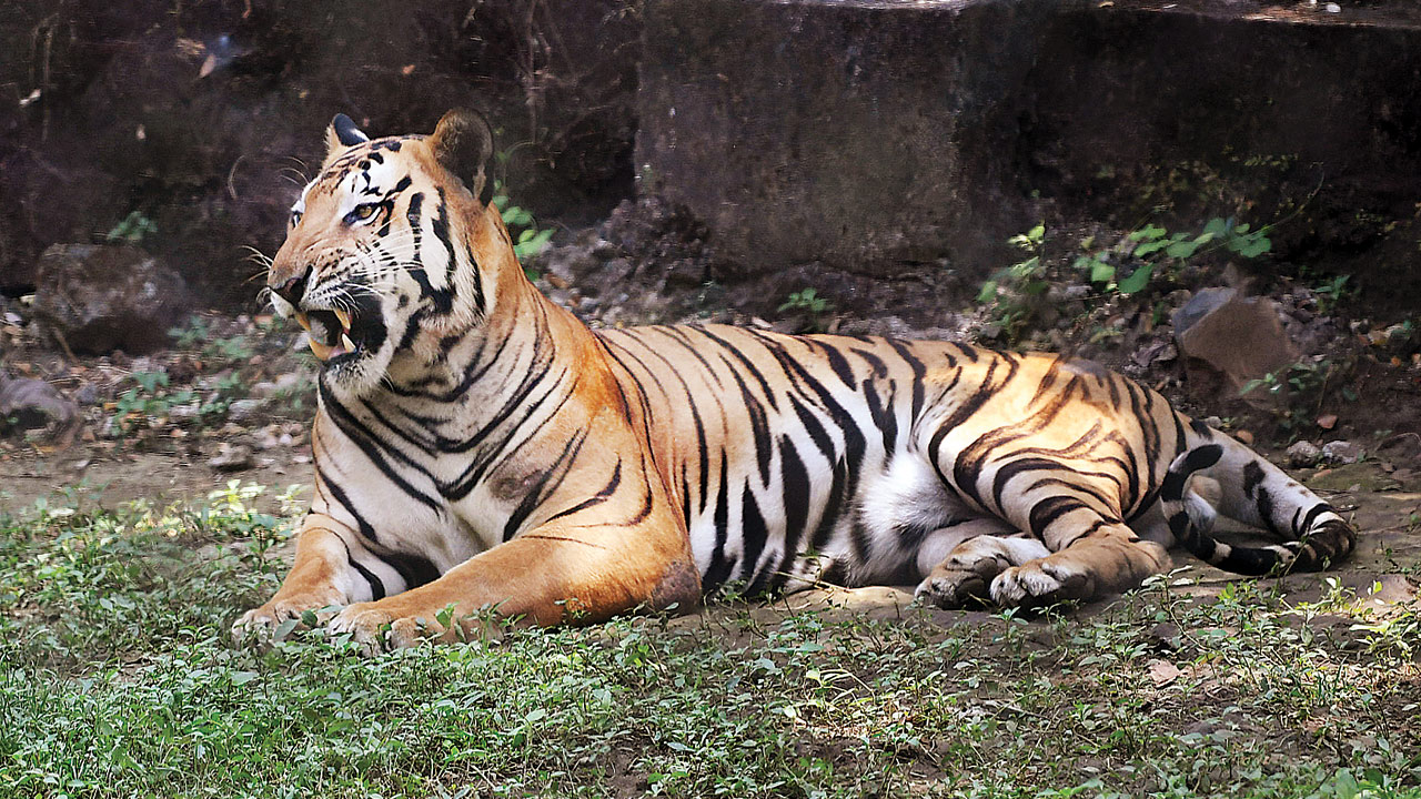 Tiger poaching racket in Melghat may have smuggled other wildlife, plant products too: Officials