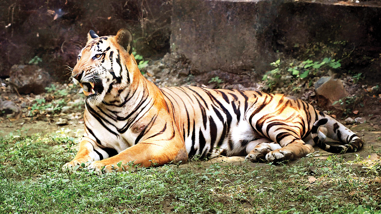 Maharashtra forest department shows major lapses in capture of tigress