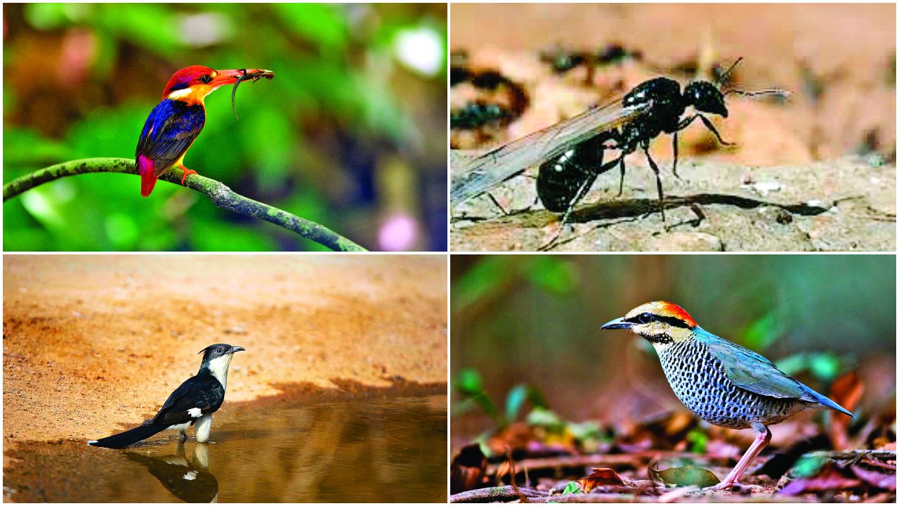 In cloud-cuckoo land: Birds, frogs, flying ants predict rains