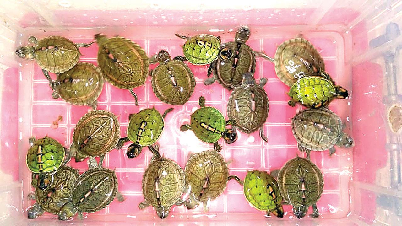 Mumbai: Man held for selling protected turtles in Crawford Market