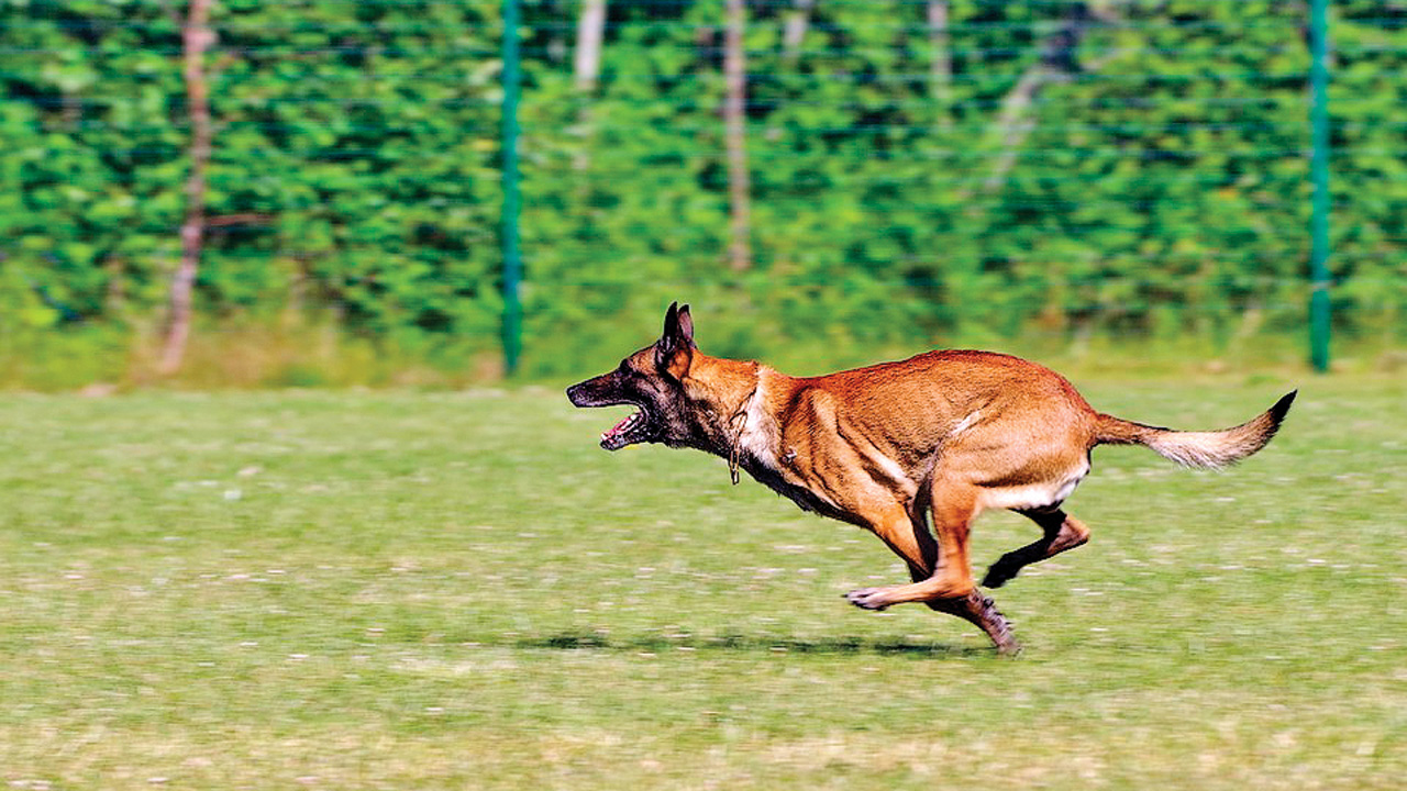 Delhi: Dog breed that helped track Osama bin Laden to now guard Metro