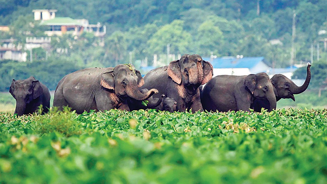 Maharashtra to lure elephants with 'food stretch' to save crops