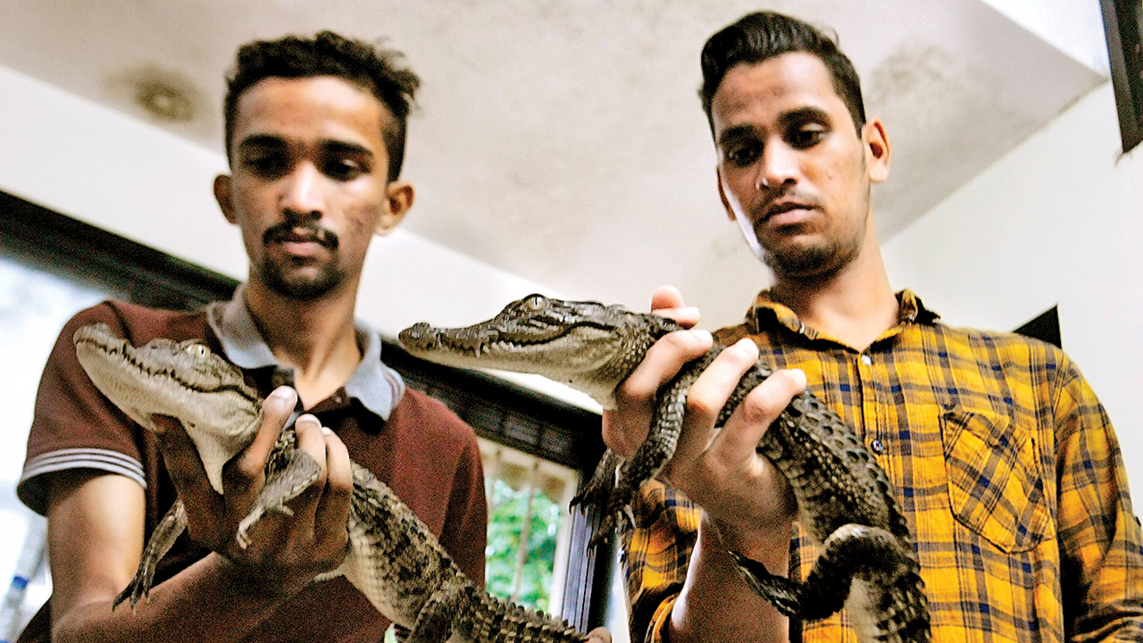 Mumbai: Crocodile smuggling gang busted, 3 held with 2 hatchlings