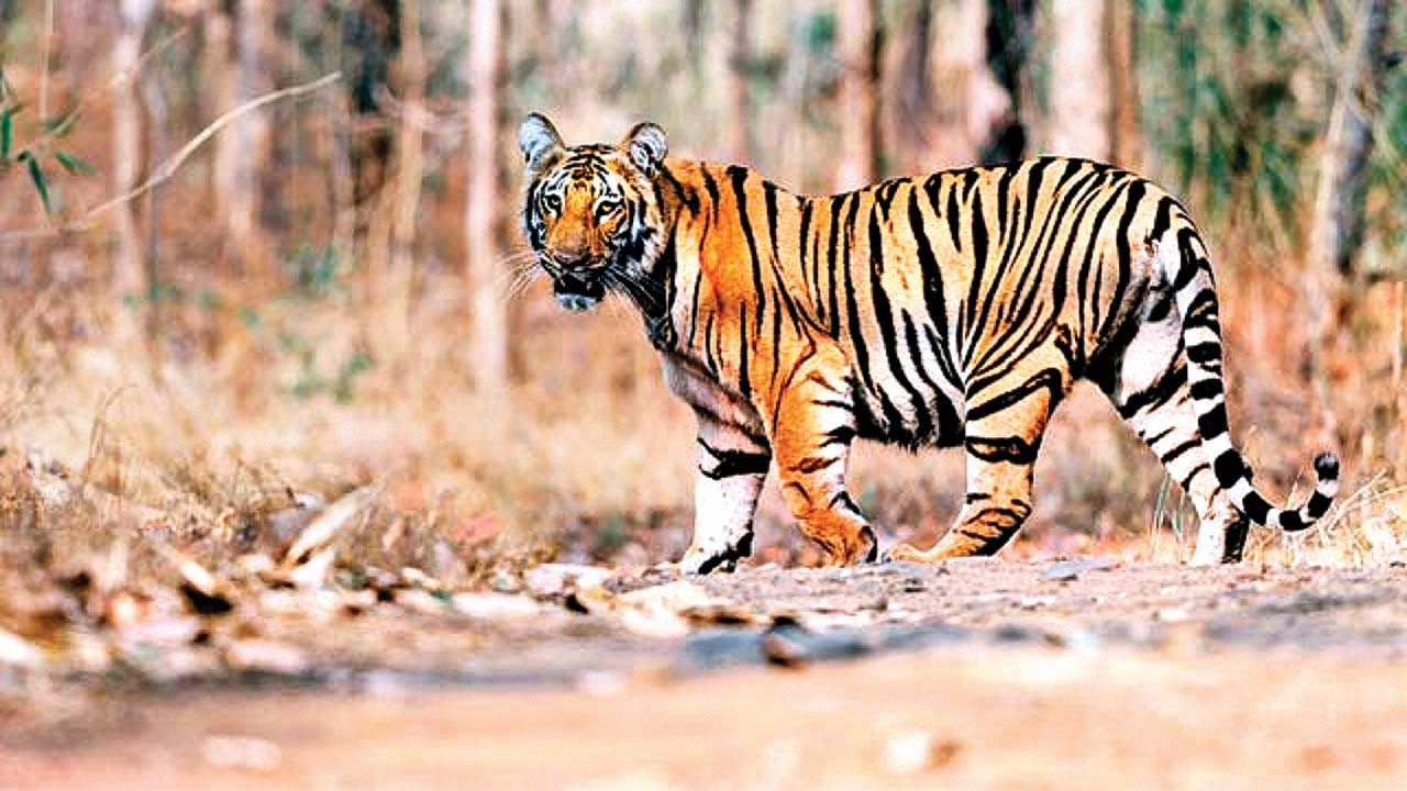 Karnataka: 'Man-eater' tiger captured after five day operation at Bandipur National Park