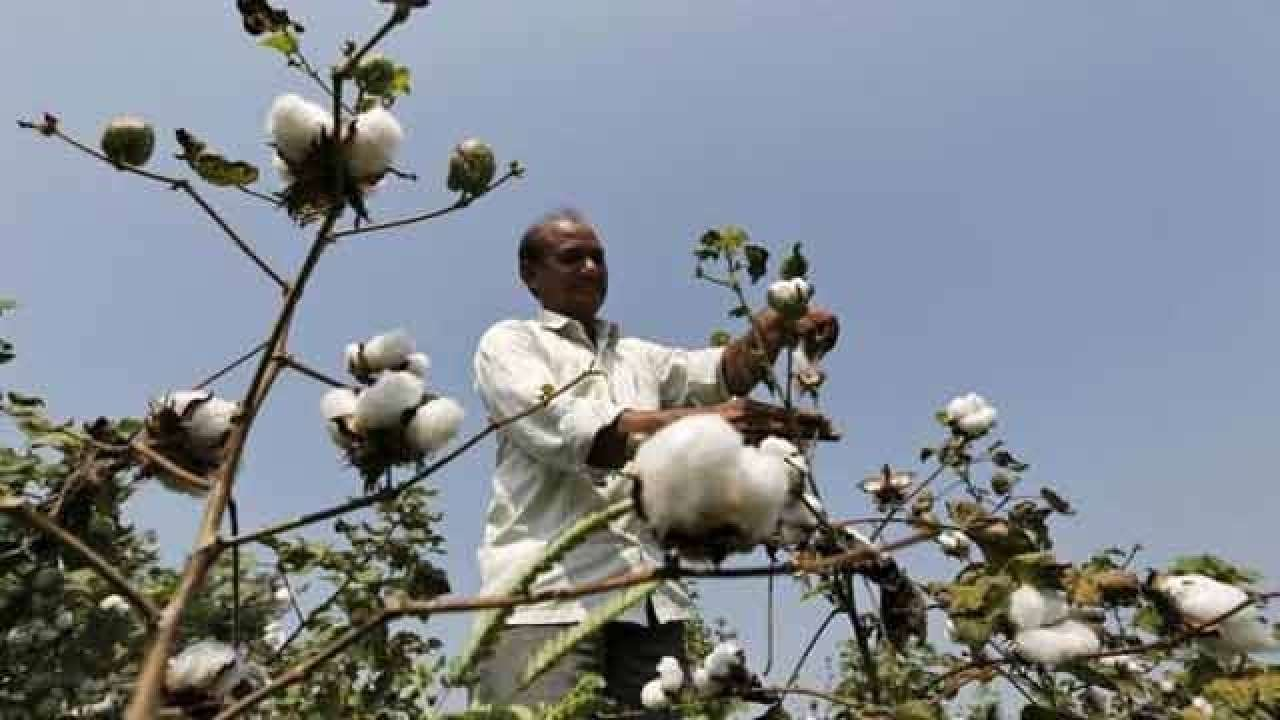 Cotton exports for season estimated at 70 lakh bales