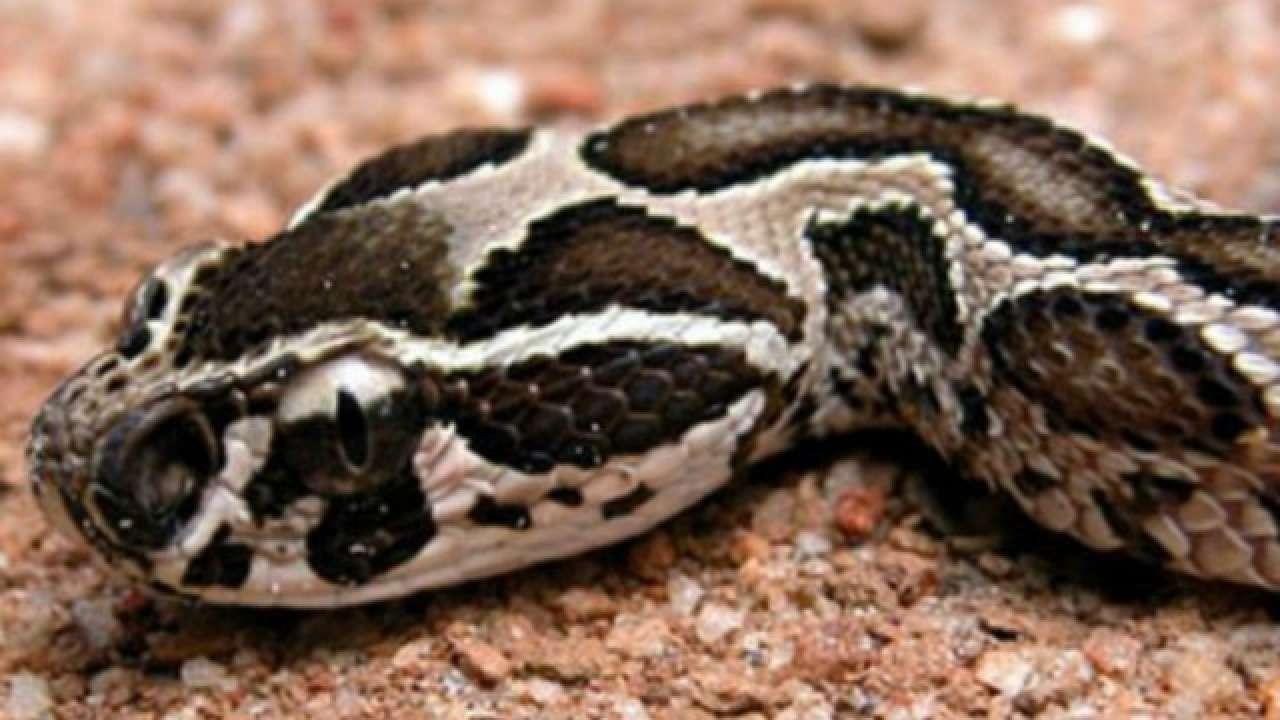 full snake in girls pussy